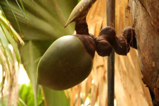 Praslin, Seychellen: Coco de mer