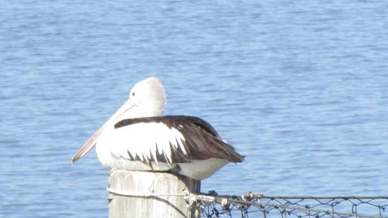 Pelican's Cafe: Pelicans chilled out and relaxed