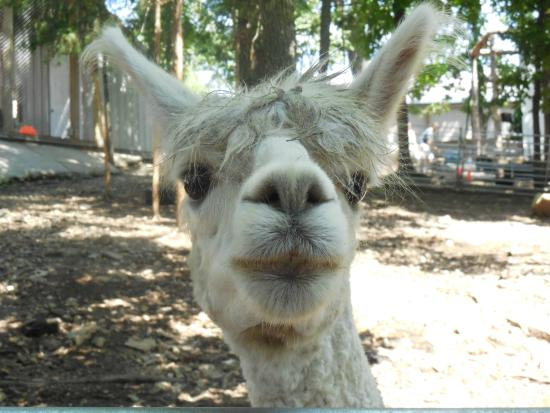 Branson, MO: The llamas weren't shy!