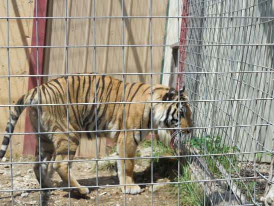 Branson, MO: The tiger was beautiful, and we got to see them feed the lion, too!