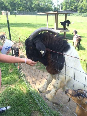 Wright City, MO: A big goat!