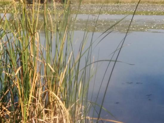 Hot Lake Springs Bed and Breakfast: Pond with cattails