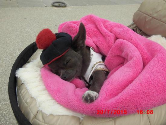 Les Galettes de Tante Olympe: notre petite chihuahua OLYMPE  la petite soeur de MISS CHIWA
