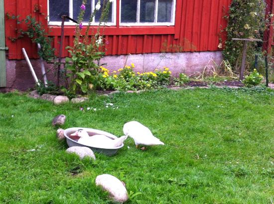 Perstorp, Suecia: Ducks in front of the house