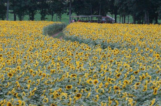Griswold, CT: Sunflowers at Buttonwood Farm