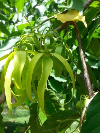 Belize Botanic Gardens: Ylang-ylang flower