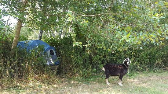 Kamp Klamath RV Park: Our tent site in the back, very near the goat ;)