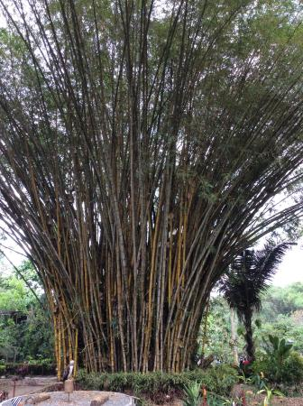 The Very Tall And Pretty Chinese Bamboo Tree Picture Of Philippine