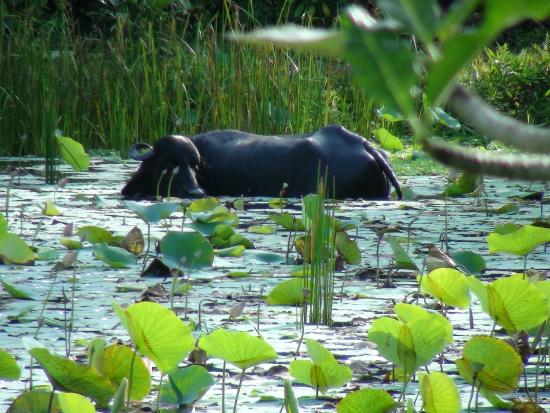 Bentota, Sri Lanka: In dem Teich am Tempel tauchte plötzlich ein Büffel auf =D