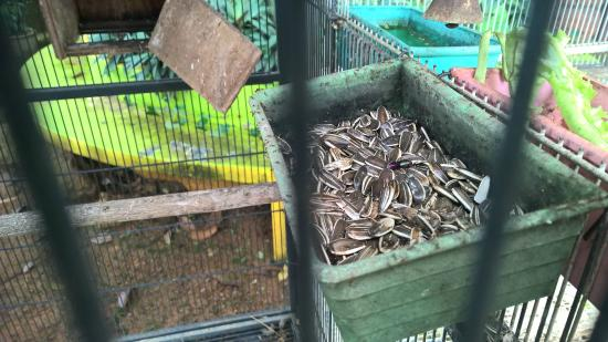 Melaka State, Malezya: Sunflower seeds for the lovebird with ants.