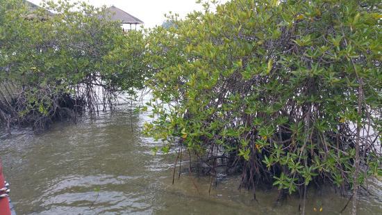 Loola Adventure Resort: Mangroves
