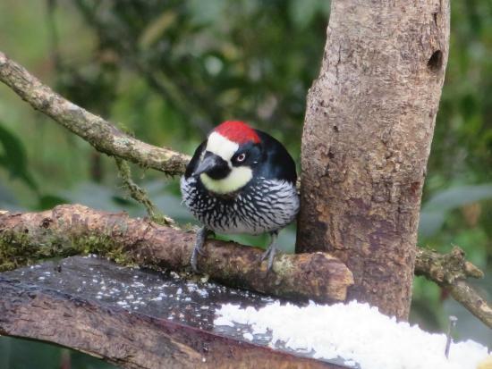 Comidas Típicas Miriam: acorn woodpecker viewed from Miriam's