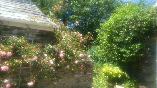 Ballaminers House: David Austin Rambling Rose Summer 2015