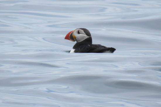 Big Bras d'Or, Kanada: Puffin
