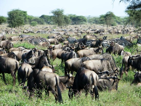 Ndutu Safari Lodge: Surrounded by herds of about 400 000 animals!