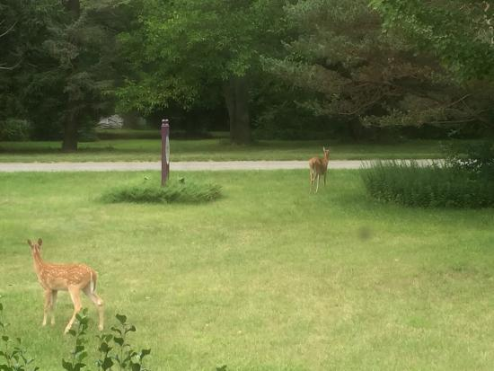 Deer in the front yard of the Harbert House