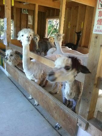 Yamakoshi Alpaca Farm