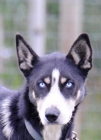 Takhini River Lodge: One of the huskies
