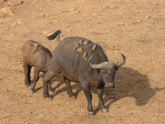 Buffalo and feeding baby at The Ark, Abadare, Kenya