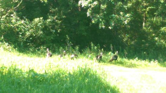 Minnesota Landscape Arboretum: Wild Turkeys