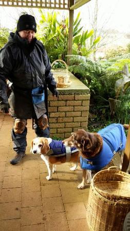 Barrington, Australia: Easy and Sunny, smart hunting dogs