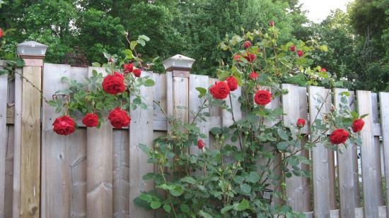 Williams Gate Bed and Breakfast Private Suites : red roses on the back fence