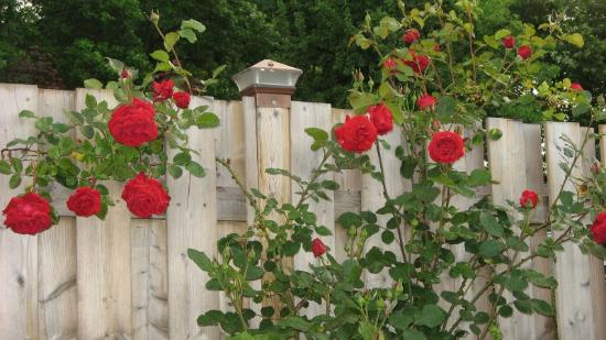 Williams Gate Bed and Breakfast Private Suites: red roses, red roses .....