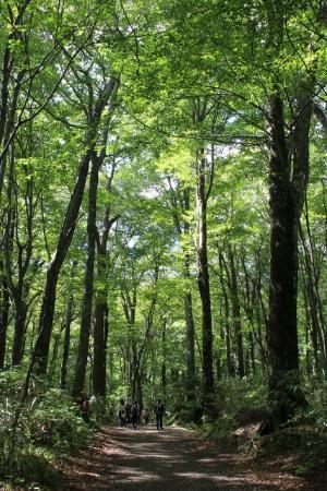 ブナ自然林 - 深浦町、十二湖の...