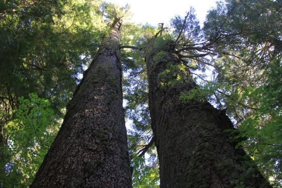 Patriarchs Trail : Grove of the Patriarchs