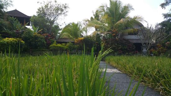 Gerebig Bungalows: The path through the rice