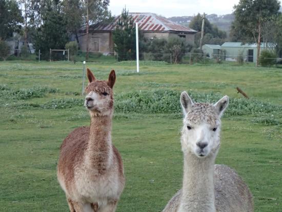 Rayanne Homestead : Friendly alpacas on the property