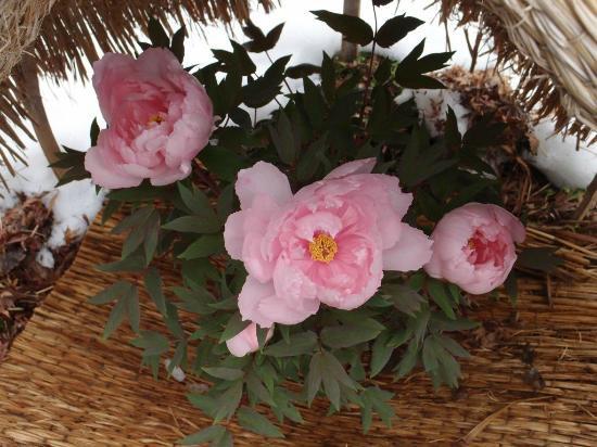 芍薬の花言葉一覧!ピンク色・白色など色別紹介・芍薬はプレゼントに向いている?