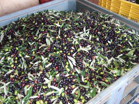 Сарцана, Италия: olive