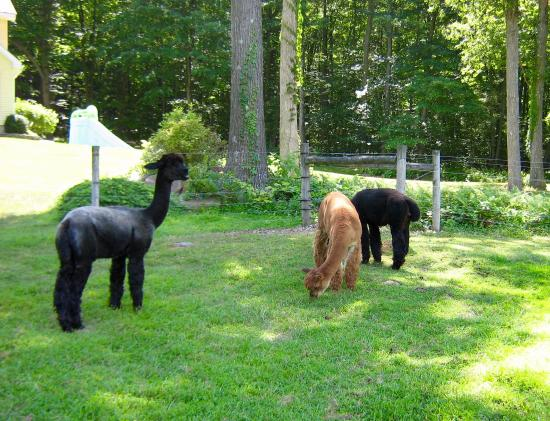 Hackettstown, Nueva Jersey: Alpacas