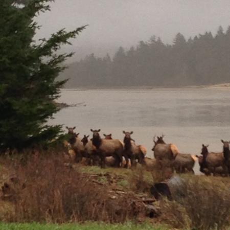 Otis, Oregón: Elk crossing the Salmon River