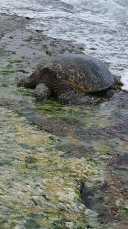 Kailua, HI: Sea Turtle walking onto beach