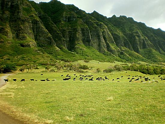 Kaneohe, Hawái: cattle at the ranch