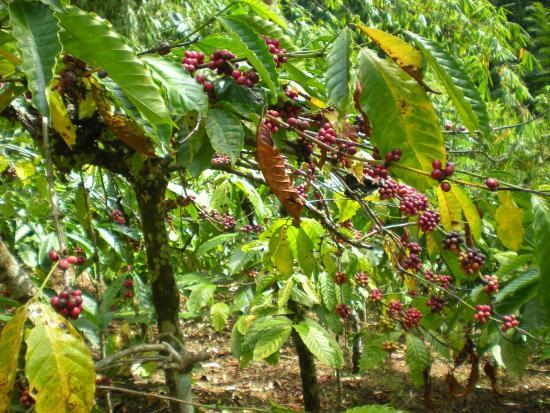 Mayong, Индонезия: plantation de café