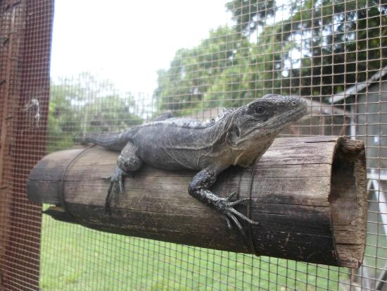 Iguana Research & Breeding Station : An adult female Utila iguana