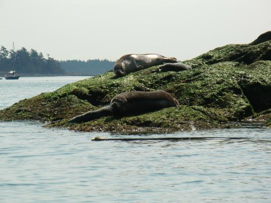 A Paddle in the Park Kayaking : harbour seals and pups