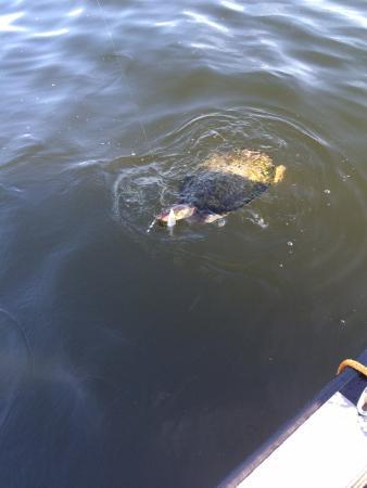Frostproof, FL: Oops a turtle