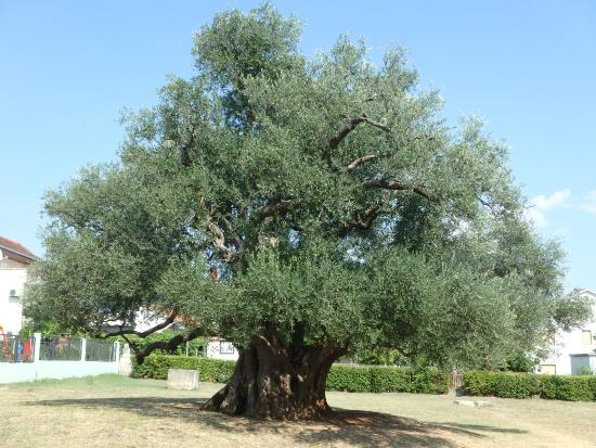Mastrinka - Old Olive Tree