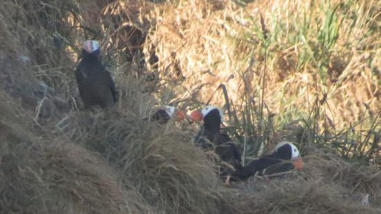 Puffins On Haystack Rock