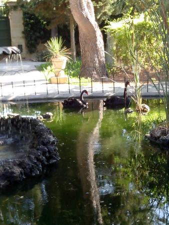 San Anton Gardens: Cygnes noirs