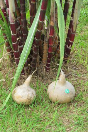 Amy B.H. Greenwell Ethnobotanical Garden: Gourds & Sugar Cane