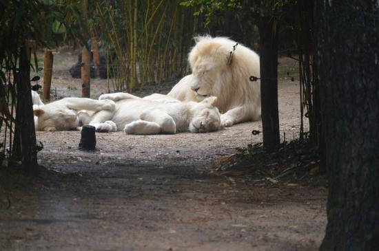 lion blanc picture of zoo de la fleche la fleche tripadvisor. Black Bedroom Furniture Sets. Home Design Ideas