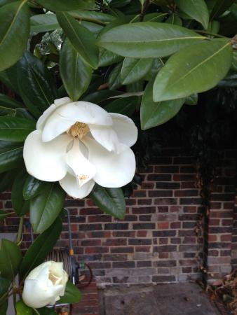 The Oldest Magnolia Tree Picture Of The Deal Hoy Deal Tripadvisor