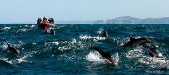 Port St Johns, แอฟริกาใต้: Offshore 1 sardine run with common dolphins playing with the boat