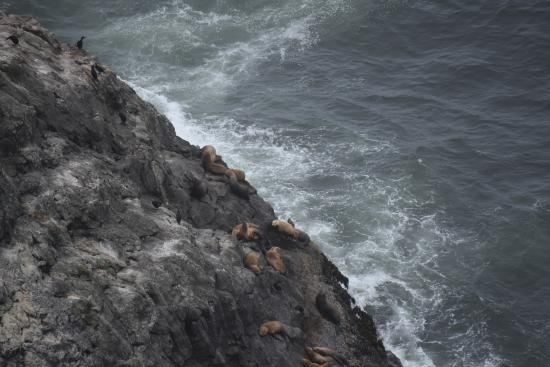 Florence, Oregón: Stellar Sea Lions on the rocks