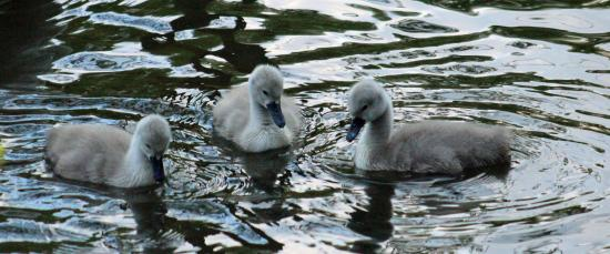 River Stour Trust Boat Trips: Cygnets